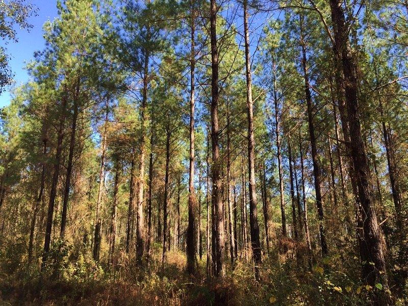 Yellow Pine Tract : Yellow Pine : Washington County : Alabama