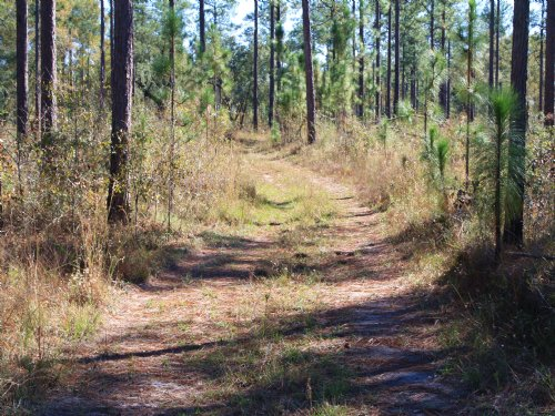 Longleaf Timber / Hunting Tract : Blakely : Early County : Georgia