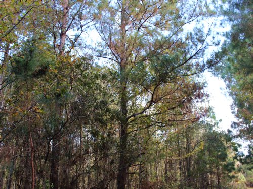 48.31 Acres For Hunting : Perry : Taylor County : Florida