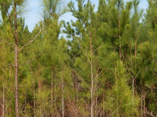 Stroud's Natural Regeneration Tract : Culloden : Monroe County : Georgia