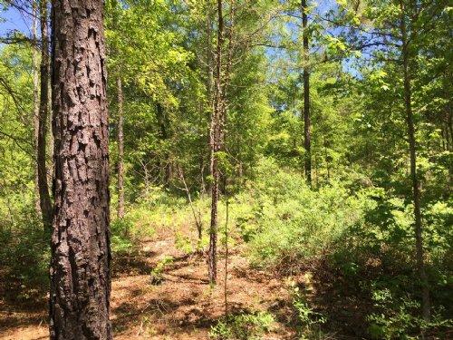 51 Acre Natural Forest : Alamo : Wheeler County : Georgia