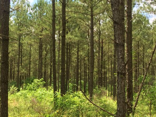 50+/- Acre Pine Timber Tract, Edgef : Edgefield : South Carolina