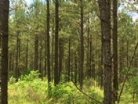 50+/- Acre Pine Timber Tract, Edgef : Edgefield : Edgefield County : South Carolina