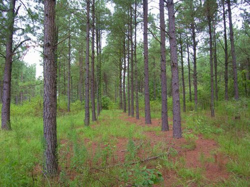 Reduced 482 Acres Pines,10 Ac Pond : Hephzibah : Burke County : Georgia