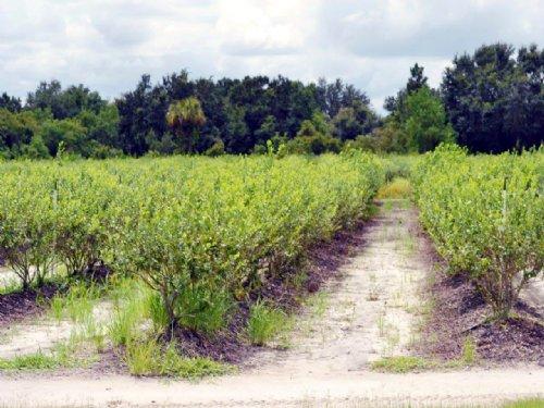 Alturas Blueberry Farm : Bartow : Polk County : Florida