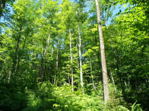 Old Buffalo Forest : West Fairlee : Orange County : Vermont