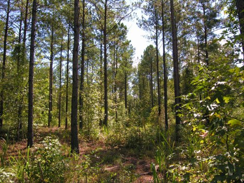 175.6 Acres Planted Pines : Ellaville : Schley County : Georgia