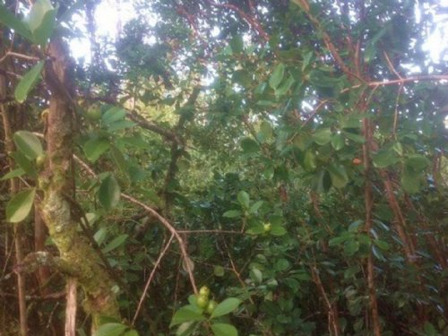 0.28 Acre Vacant Land For Sale : Pahoa : Hawaii County : Hawaii