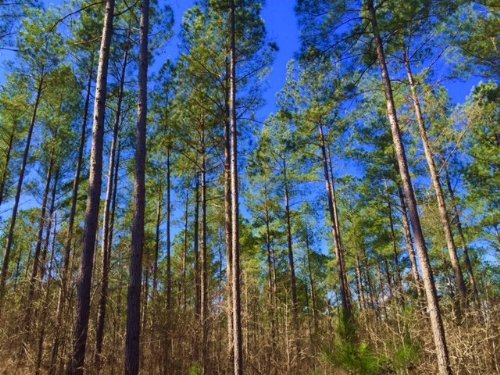 Mature Saw Timber Tract : Alamo : Wheeler County : Georgia
