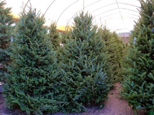 Ergle Christmas Tree Farm : Dade City : Hernando County : Florida