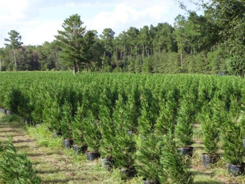 Leyland Cypress Tree Farm : White Springs : Hamilton County : Florida