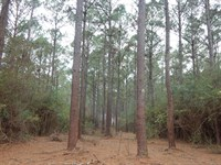 30 Acres Of Mature Pine Timber : Magnolia : Pike County : Mississippi
