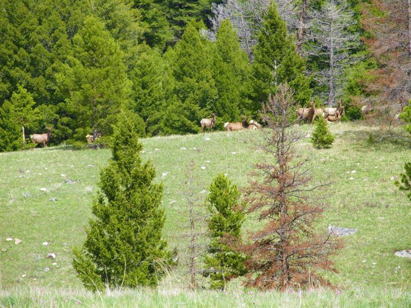 Elk Galore : Philipsburg : Granite County : Montana