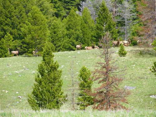 Elk Galore : Philipsburg : Granite County : Montana