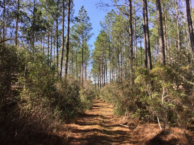 Beautiful Pine Plantations In Fl : Defuniak Springs : Walton County : Florida