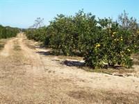 Valencia-Hamlin Orange Grove : Frostproof : Polk County : Florida