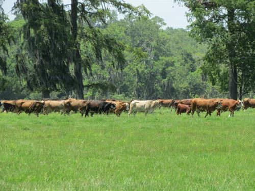 1200+/- Ac Cattle Farm : Houma : Terrebonne Parish : Louisiana