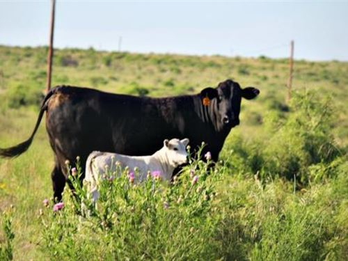 Cattle Ranch Auction - 1070 Acres : Electra : Wichita County : Texas