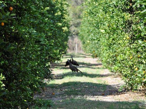 Hardee 34 Acre Valencia Grove : Zolfo Springs : Hardee County : Florida