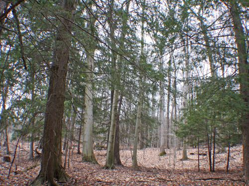 8 Acres Mature Forest Dansville Ny : Wayland : Steuben County : New York