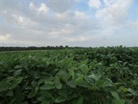 Big Bean Tract : Kingstree : Williamsburg County : South Carolina