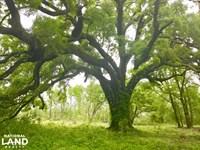 Effingham Live Oak Home Site : Effingham : Florence County : South Carolina