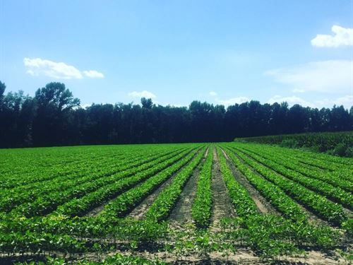 Lamar Farm, Hunting And Investment : Lamar : Lee County : South Carolina