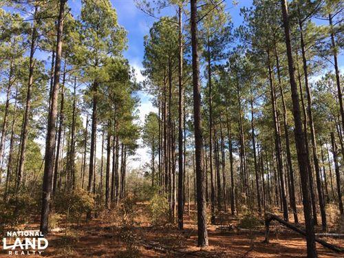 Mature Loblolly Hunting Property : Williston : Barnwell County : South Carolina