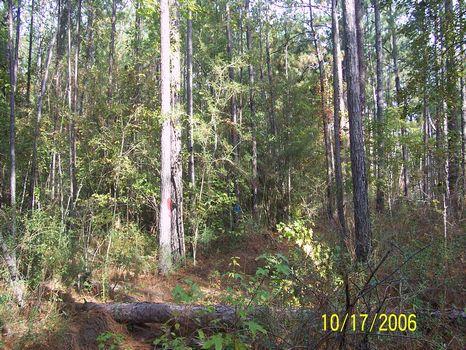 50 +/- Pine Plantation : Richton : Wayne County : Mississippi