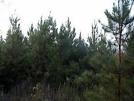 42 +/- Acres Pine Plantation : Magee : Simpson County : Mississippi