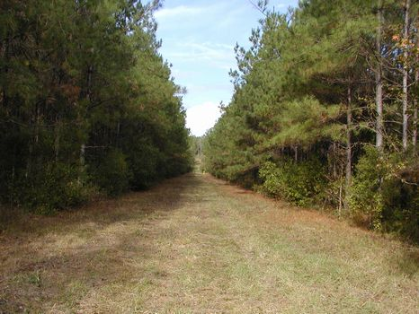39 +/- Acre Pine Plantation : Beaumont : Perry County : Mississippi
