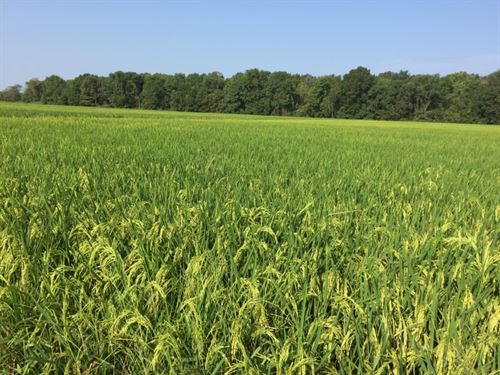 Cropland Investment : Wynne : Cross County : Arkansas