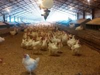 Tyson Contracted 4 Hse Breeder Farm : Bradley : Lafayette County : Arkansas