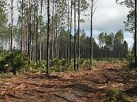 Lake Harney Pines : Lake Harney Woods : Volusia County : Florida