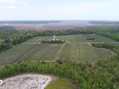 Coastal Blueberry Farm : Townsend : McIntosh County : Georgia
