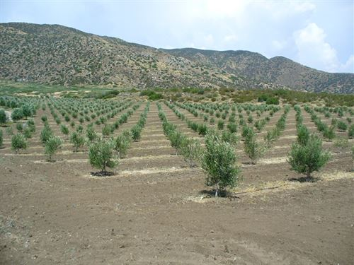 Rancho San Felipe Olive Orchard : Warner Springs : San Diego County : California