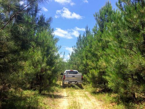 Califf 17 Productive Planted Pine : Irwinton : Wilkinson County : Georgia