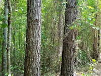 100 Acre +, Good Pine And Mixed : Ramer : McNairy County : Tennessee