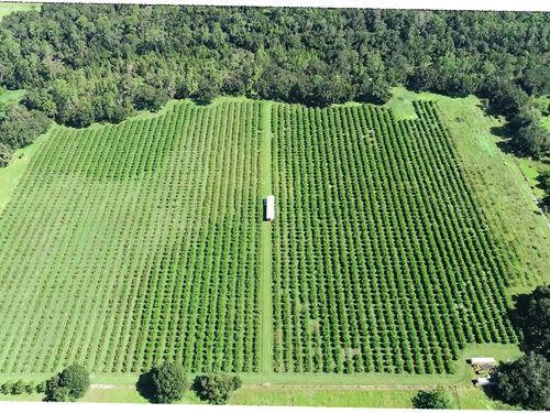 24 Acre Peach Grove : Bartow : Polk County : Florida