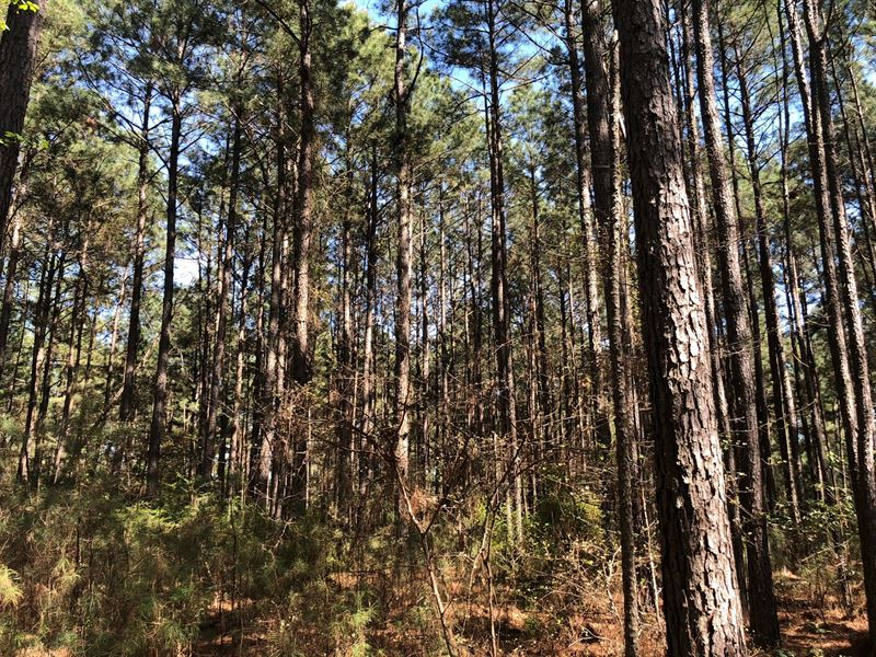 Natural Pine Timber Land Cleveland : New Edinburg : Cleveland County : Arkansas
