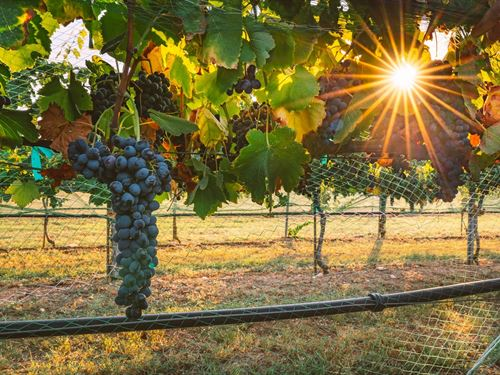 Winery / Vineyard, Comfort Texas : Comfort : Kendall County : Texas