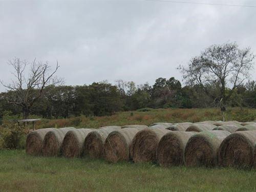 Missouri Ozarks River Front Cattle : Willow Springs : Douglas County : Missouri