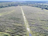 Glynn County Blueberry Farm : Waynesville : Glynn County : Georgia