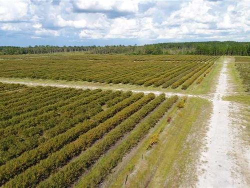 175 Acre Blueberry Farm For Sale : Baxley : Appling County : Georgia