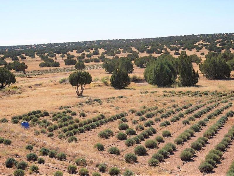 Near Lavender Farm, Heber-Overgaard : Heber-Overgaard : Navajo County : Arizona