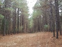 Pine Plantation In Northern Clay Co : Lineville : Clay County : Alabama