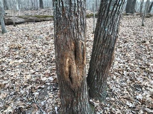 40 Acres of Great Big Timber And : Stover : Morgan County : Missouri