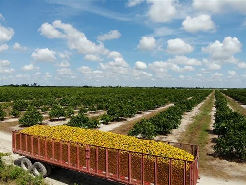 Beautiful Farmland, Citrus Grove : Labelle : Hendry County : Florida