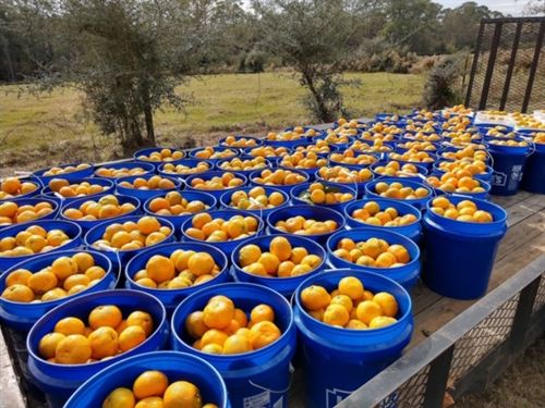 Honeysuckle Satsuma Farm 600 Trees : Samson : Geneva County : Alabama