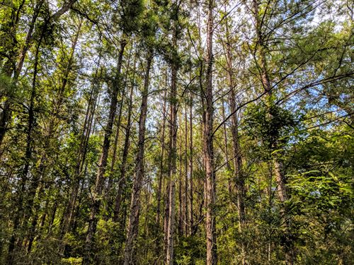 Timber Hunting Homesite Tallahassee : Crawfordville : Wakulla County : Florida